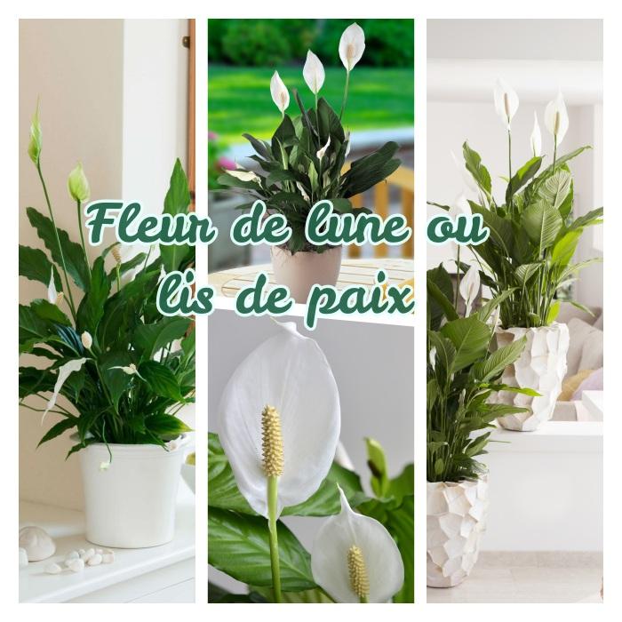 exemple de plante fleurie d intérieure, fleur de lune ou lis de paix plantée en pot de fleur, deco interieur elegante