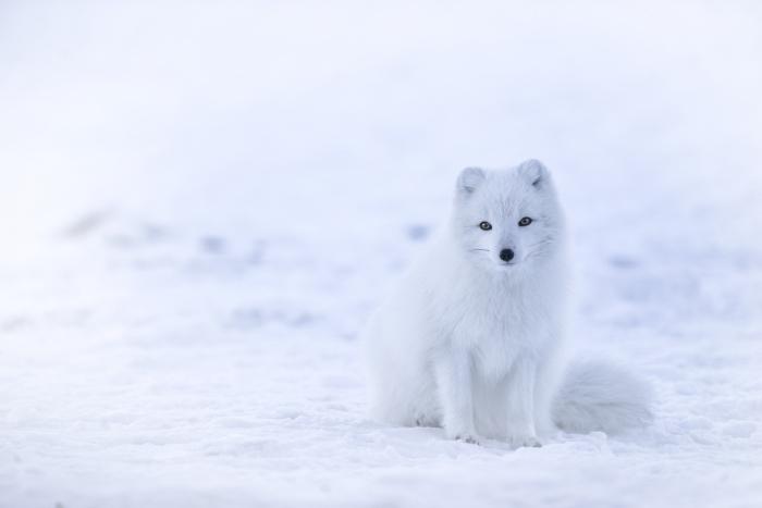 photo de petit animal blanc dans la neige, idée fond ecran pc avec blanc renard et neige, photo gratuite pour pc