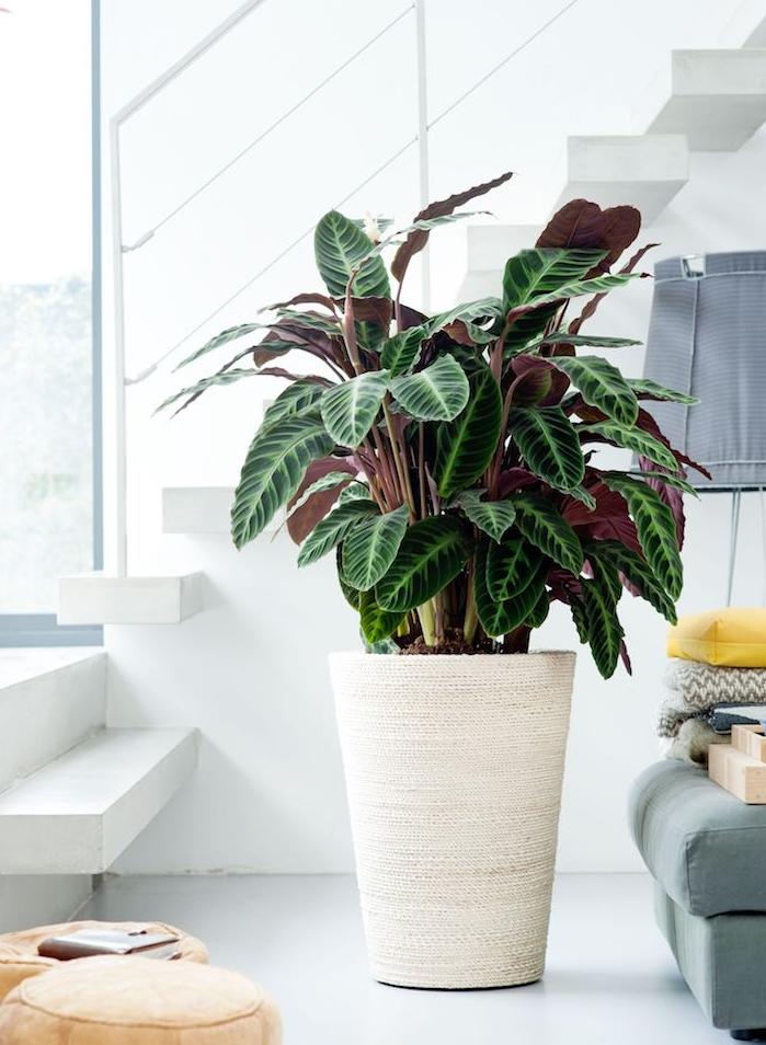 grande plante interieur dans un gros pot de fleur, calathea pour la deco appartement moderne en blanc, canapé bleu de gris