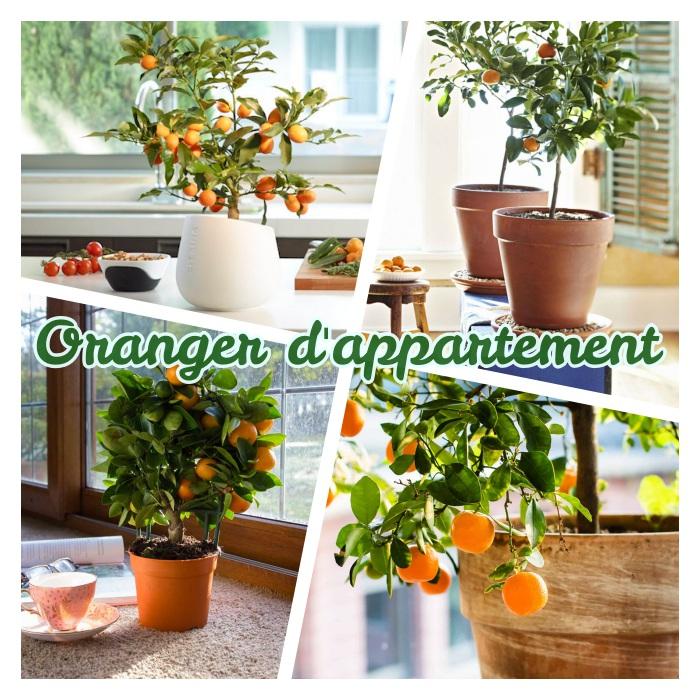 oranger d appartement à cultiver en pot de fleur, idée de arbre fruitier à la maison, plante d intérieur originale, fruitier decoratif