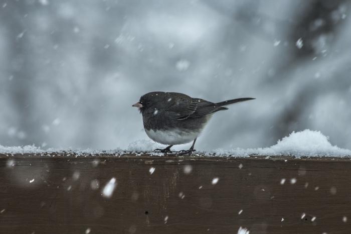 image neige qui tombe, photo de petit oiseau noir et blanc sous la chute de flocons de neige, idée fond d'écran hivernal