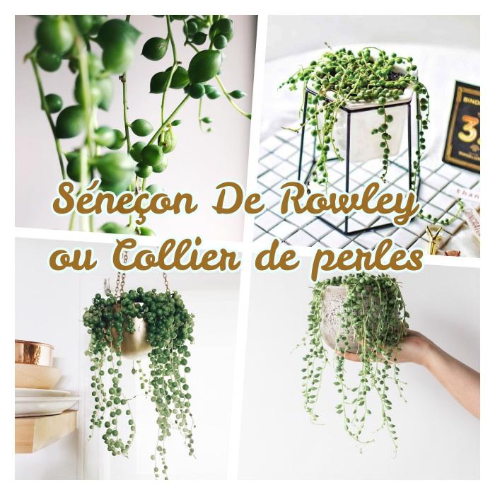 collier de perles, plante tombante intérieur couleur verte à poser ou suspendre, plante pour votre deco salon zen