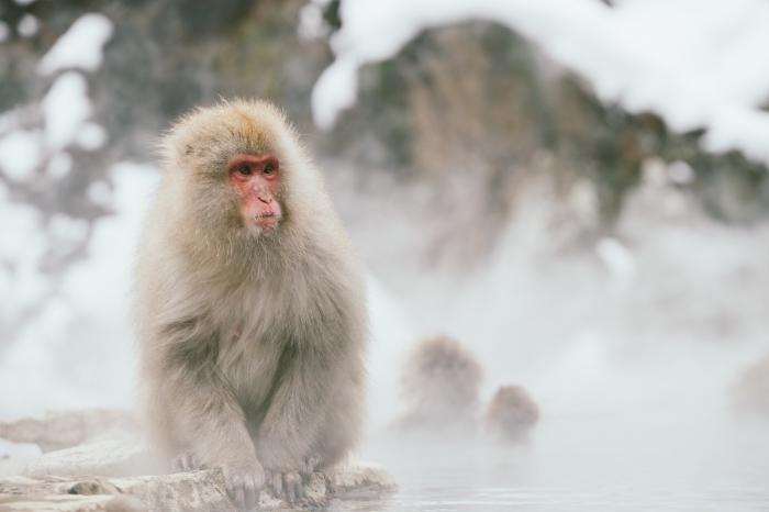 fond d écran hiver à télécharger, idée photo gratuite pour pc, photo animal singe blanc dans la nature d'hiver