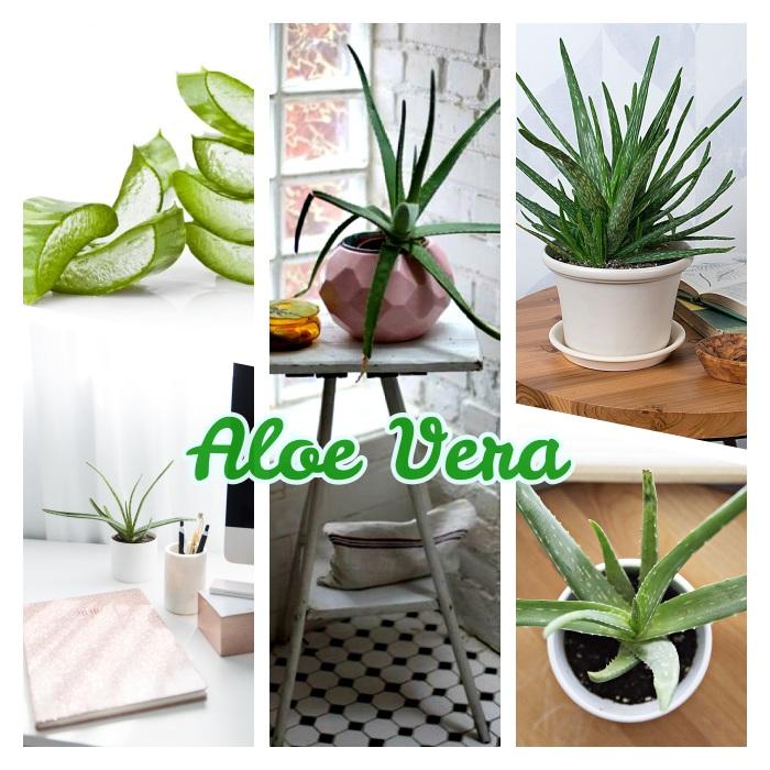 plante d intérieur originale, aloe vera plante verte à feuilles longues à cultiver en pot, exemple de plante dépolluante et decorative