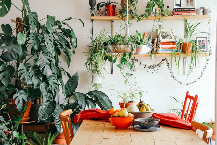 les plus belles plantes d intérieur, idee deco salle à manger avec des chaises colorés, table à manger bois brut, étagères chargées de plantes et monstera plante geante
