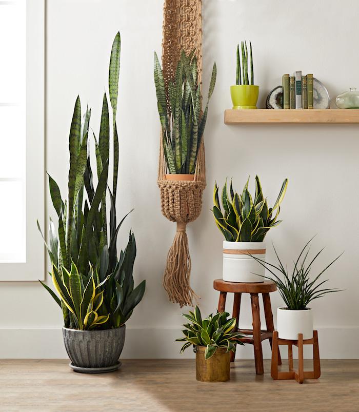 sanseviere langue de belle mere quelle plante verte d interieur idée plante tropicale appartement