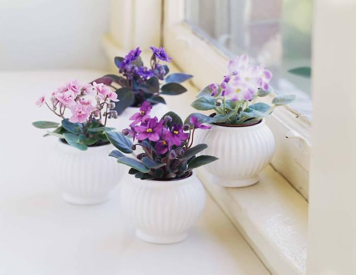 pots blancs de violettes africaine rangés sur le rebord de la fenêtre, plantes fleuries d intérieur pour un salon fleuri