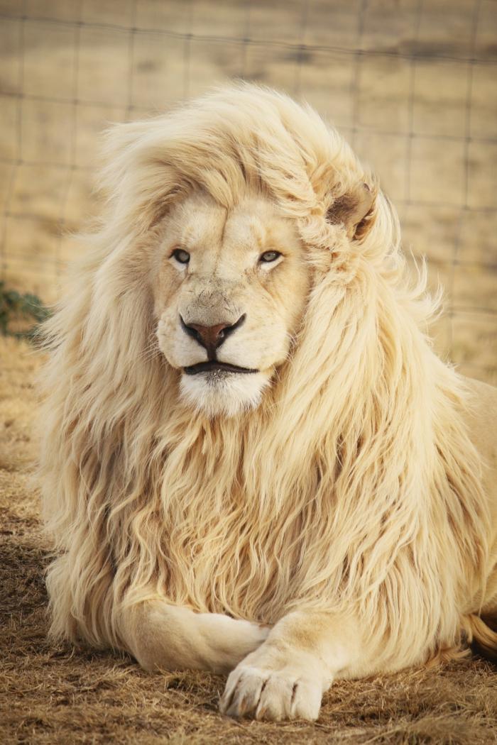 Fond d écran animal, lion fond d écran nature, belle photo inspiration avoir du style comme le roi de la jungle, le plus beau animal