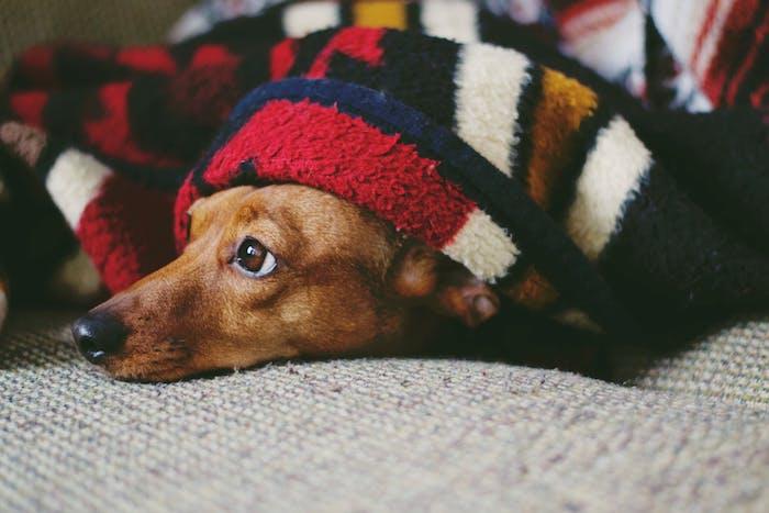 cabane pour chien invention anti stress chien, chien stressé du bruit qui se cache sous une couverture de lit