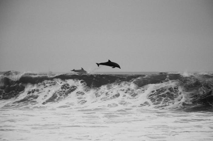image noir et blanc de dauphins sautant hors de l'eau, au-dessus des grandes vagues de la mer agitée