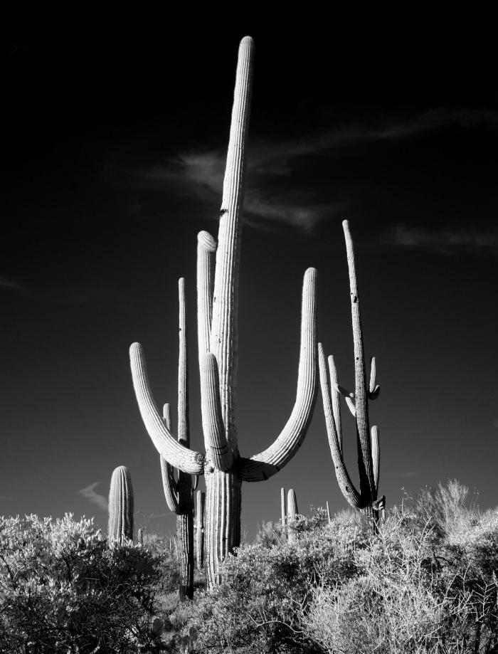 jolie photo en noir et blanc de cactus dans le parc national de saguaro parfaite pour une impression sur affiche noir et blanc