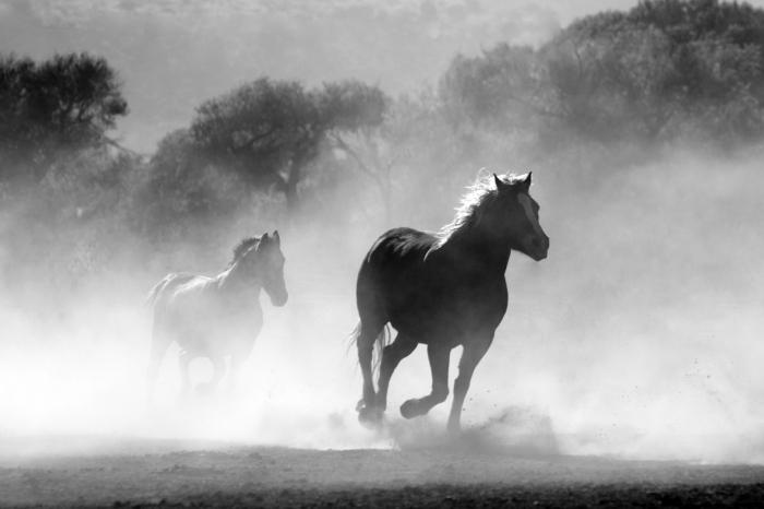 belle image noir et blanc de chevaux sauvages galopant dans la nature dans un nuage de poussière