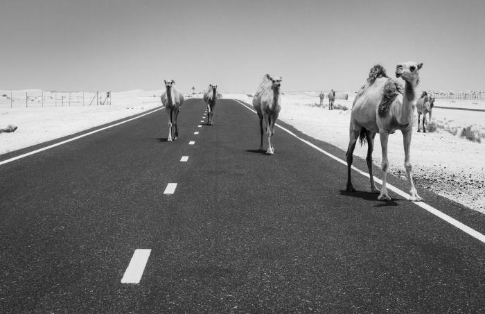 belle photo noir et blanc d'une route désertique et quelques dromadaires, photographie de paysage monochrome