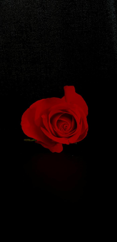 Rose rouge pour dire bonne saint valentin mon amour, image st valentin, belle photo pour son amour