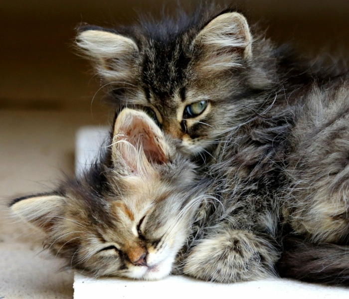 Chatons mignons qui s'aiment, image st valentin, image romantique belle image d'amour idée de carte à envoyer