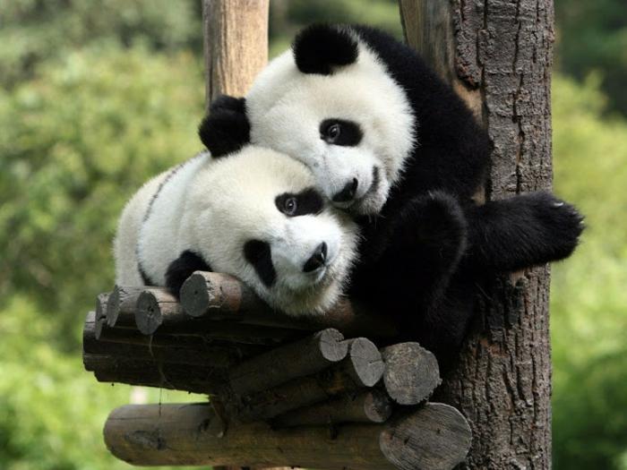 Pandas qui s; aiment, animaux mignons, belle image d'amour, bonne saint valentin mon amour ma cherie photo romantique,