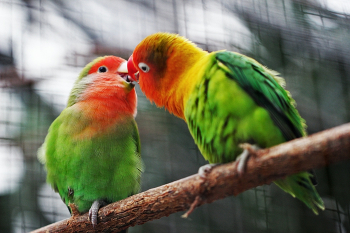Oiseaux amoureux colorés ara, image couple amoureux, image romantique parfait photo à utiliser comme fond d écran