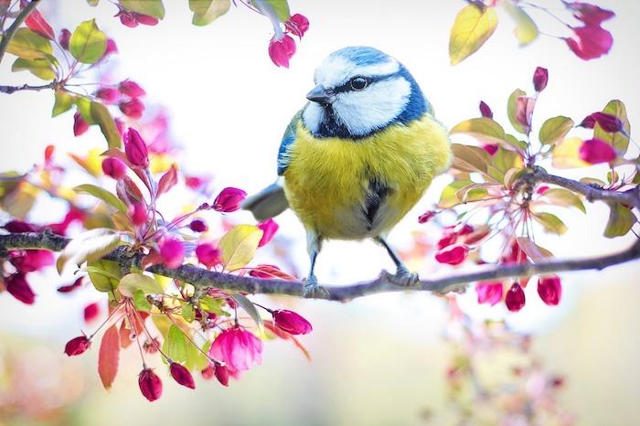 Oiseau sur branche, belles couleurs de printemps, arbre fleurie avec oiseau mésange charbonnière printemps