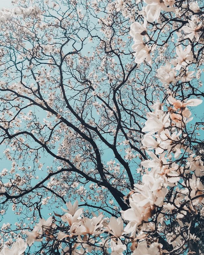 Joli paysage de printemps, arbre à fleurs blanches et branches brune foncé qui contrastent avec le ciel bleu, image printemps, belle photo pour mon ordinateur ou iPhone