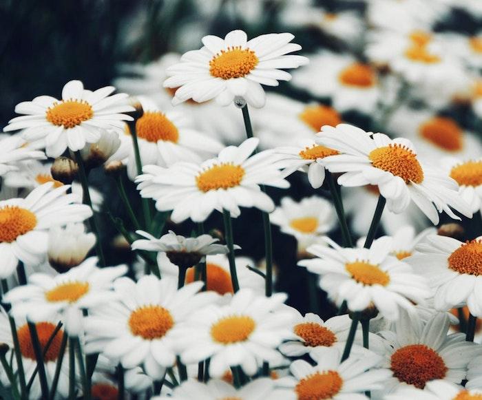 Joli paysage de printemps, champs fleurie, image printemps marguerites, belle photo pour mon ordinateur, fond d'écran fleurs de printemps