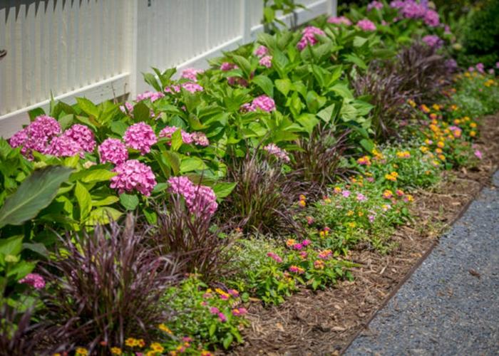 massif fleuri de hortenisas, petites paquerettes jaunes, bordure fleurie devant maison