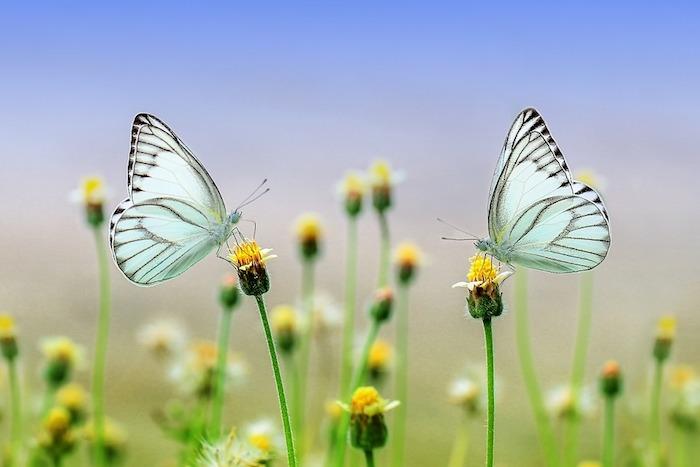 Image champs fleurie, deux papillons blanches, printemps beauté de la nature