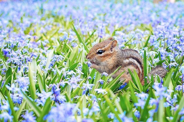Adorable écureuil au milieu d'un champ fleuri avec fleurs de printemps, fond ecran paysage, image printemps, la beauté de la nature