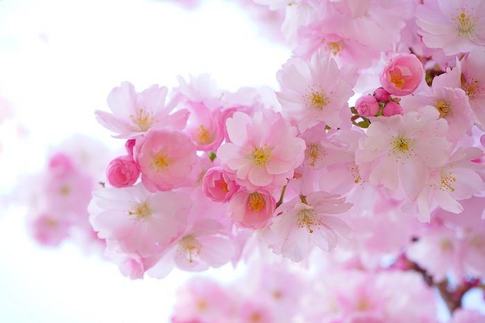 Le plus beau fond ecran fleur d'arbre rose, paysage de printemps sublime, être en fleurs, les arbres s'épanouissent
