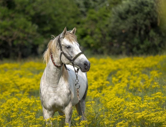 Fond d'écran paysage printemps cheval blanc, image cheval en printemps, plante qui fleurisse sur le champ avec le cheval