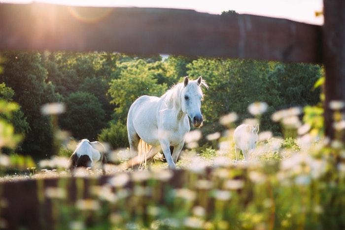 Belle image pour fond d'écran gratuit printemps, image printemps ensoleillé, chevaux sur champ vert, fleurs qui s'épanouissent