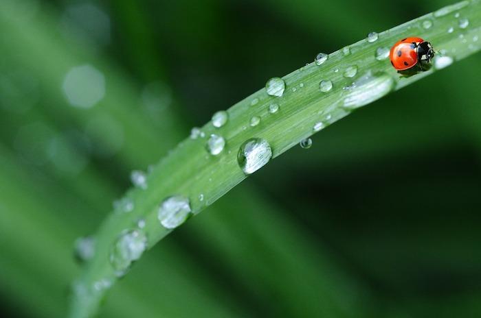 Coccinelle sur brin d'herbe arrosée, image printemps, fond d'écran printemps, image de printemps en macro