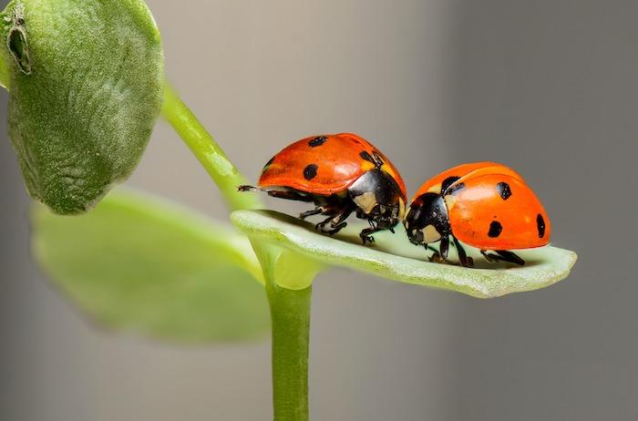 Coccinelles amoureuses, adorable photo d'insectes rouges à points noirs, verdure fond d'écran printemps, ecran de veille paysage printemps
