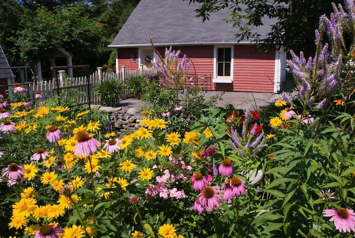 paquerettes de couleurs diverses, maison de campagne, jardin fleuri, massif jardin rustique