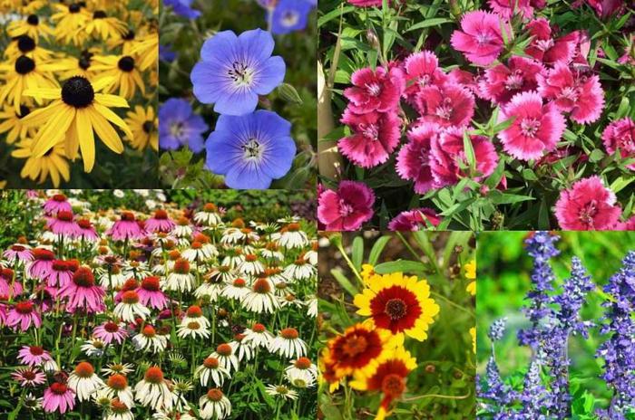 vivaces pour massifs de fleurs, oeillets, paquerettes, susans, e