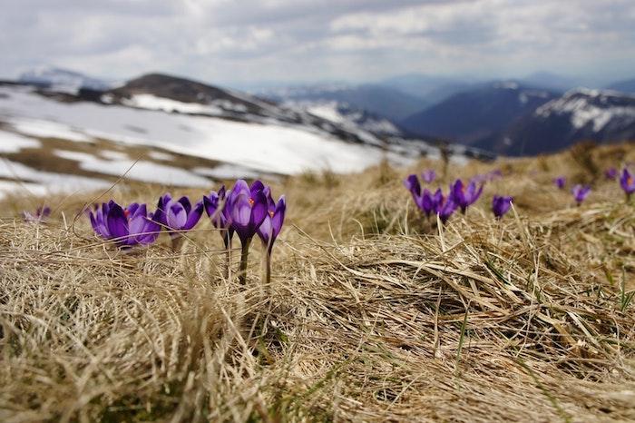 Montagne enneigé au printemps avec crocus qui poussent, fond ecran paysage, fond ecran fleur, la beauté de la nature