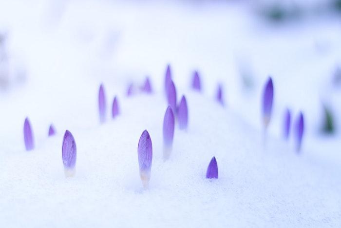Crocus et neige, le commencement du printemps, paysage fantastique pour fond d'ecran, fond ecran fleur violet, cool idée d'image à utiliser