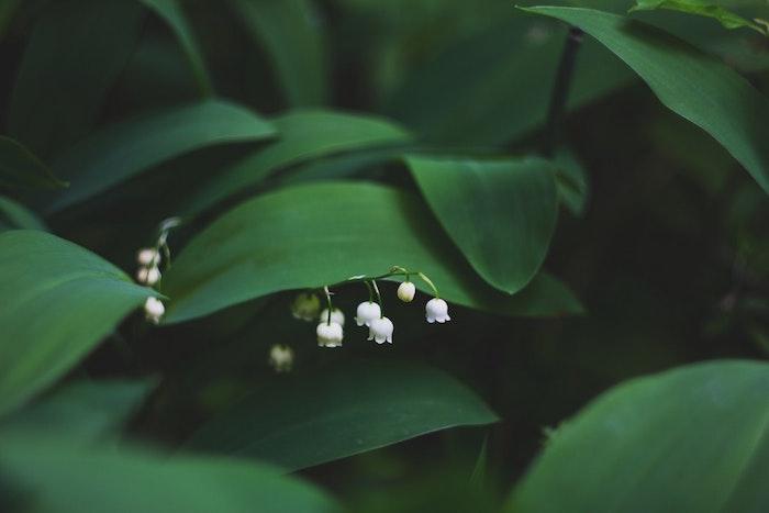 Muguet photo printemps, fleur fantastique pour fond d'ecran vert et fleurie, belles muguets petit fleur adorable