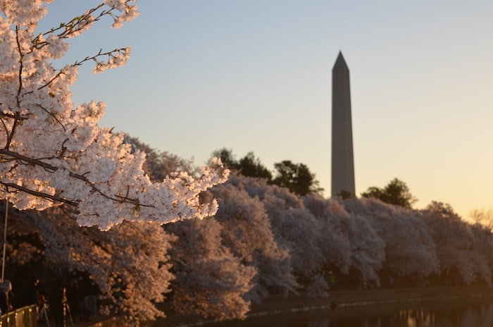 Arbres fleuries cerise, fond ecran nature, paysage fantastique fond d'ecran, parc dans une fille au printemps avec fleurs de cerise