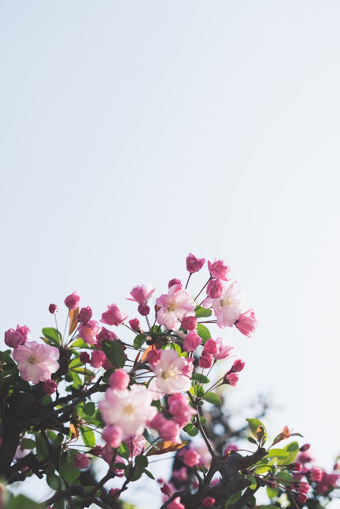 Les fleurs branche d'arbre, arboriculture fruitière arbre fleurie en printemps, fond d'écran paysage printemps, paysage japonais fond d'écran