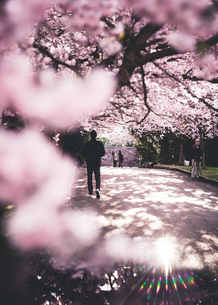 Image fond d'écran gratuit printemps Tokyo cerisier, paysage japonais fond d'écran, jardin japonais fleurie au printemps