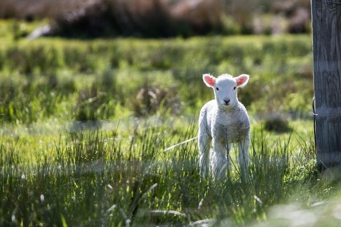 Chouette idée pour fond ecran nature et animaux, paysage de printemps, croissance des végétaux et animale, agneau blanc mignon