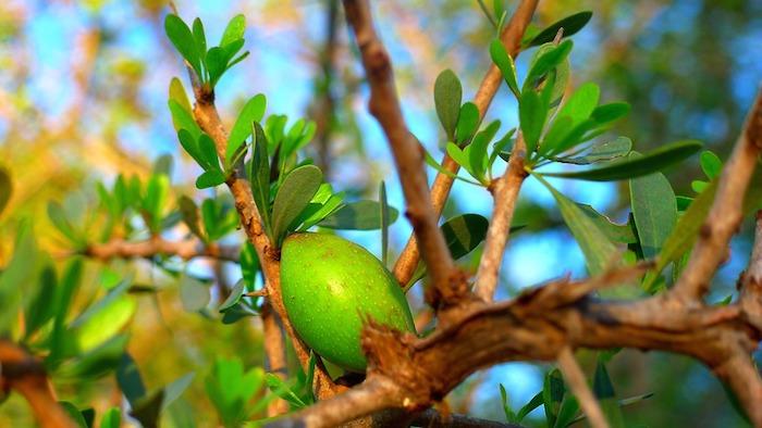 produit soi cheveux naturel, fruit d argan couleur verte, idée de plante à utiliser pour revitaliser ses cheveux, rhassoul et argan