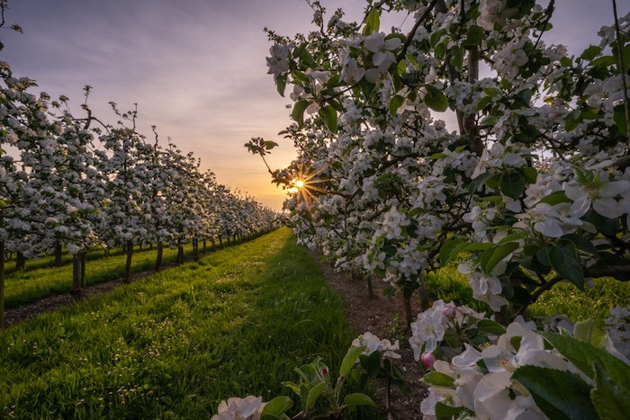 Coucher de soleil dans un jardin avec arbres fruitier, photo printemps nature, paysage de printemps, floraison photo belle nature