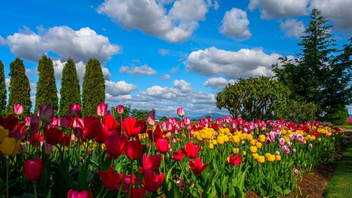 grand massif fleuri, peupliers, tulipes multicolores, ciel bleu aux nuages blancs