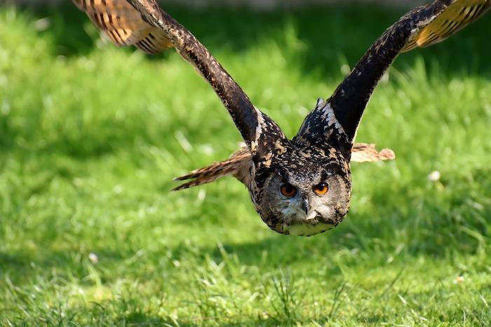 Le plus beau fond ecran animal, paysage de printemps, champ vert et hibou en vol, printemps dans la nature