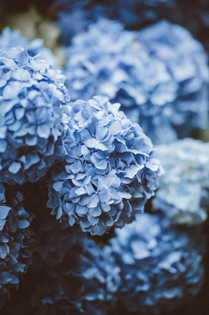 Fond d'écran fleurs de printemps, image printemps, plante qui fleurisse, hydrangea hortensia bleu belle