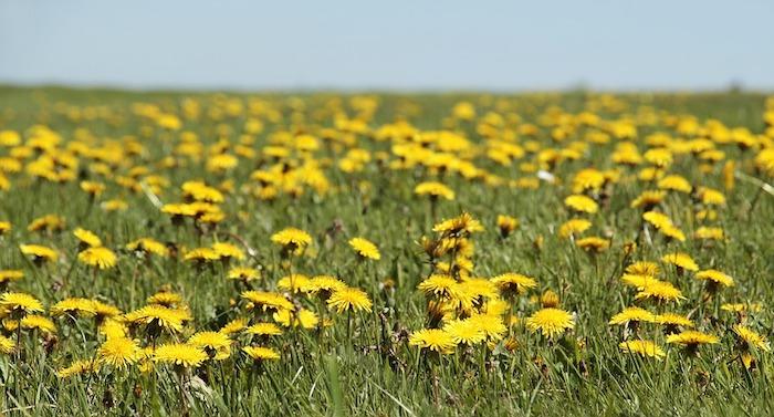 Beau paysage fantastique fond d'ecran, image printemps floraison, pissenlits jaunes partout sur le champs vert