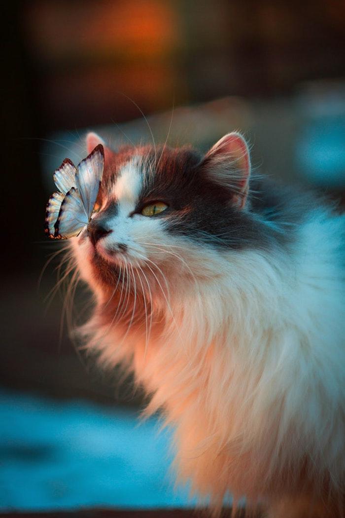 Chat avec papillon sur le nez, fond d'écran printemps animaux, ecran de veille chaton mignon et papillon bleu