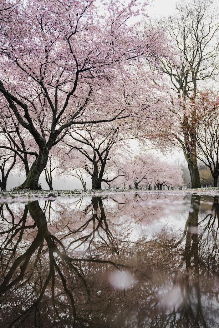 Allée d'arbres fleuries cerisiers roses, belle image eau sur l alee, fond ecran nature, fond d'écran printemps, image printanière