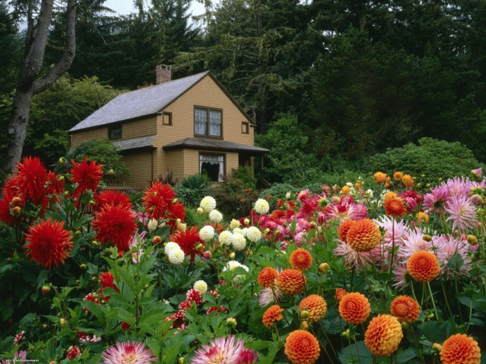 jardin avec massif de chrysanthèmes, parterre devant maison, modele de parterre de fleurs